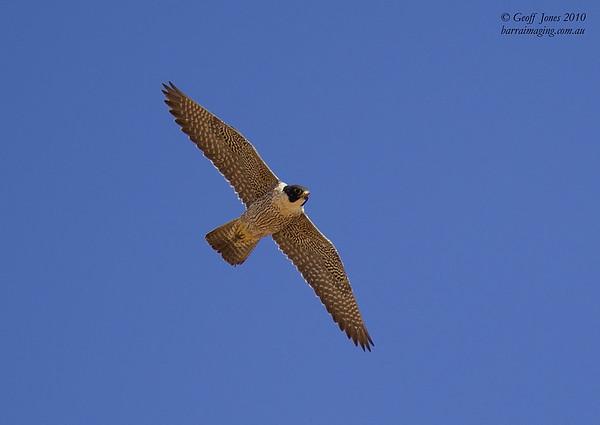 Peregrine Falcon immature