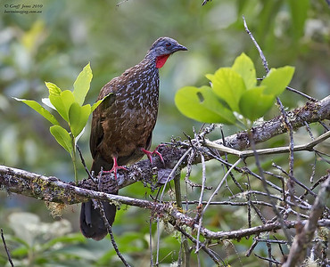 Chachalacas, Curassows & Guans Family Cracidae