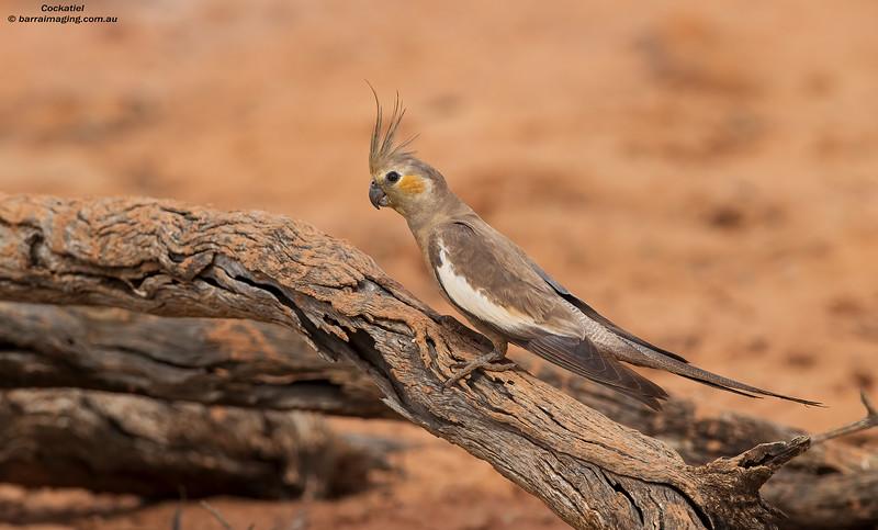 Cockatiel female