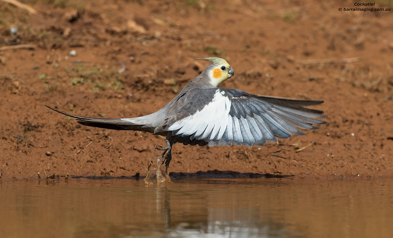 Cockatiel male