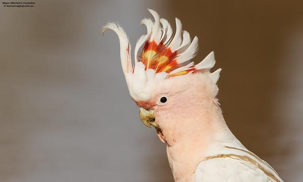 Major Mitchell's Cockatoo male