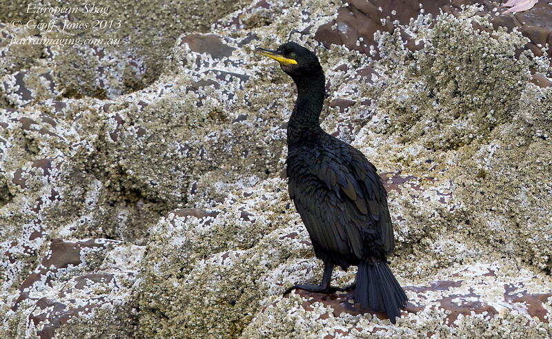 European Shag Phalacrocorax aristotelis North Berwick Scotland Aug 2013 UK-EUSH-01