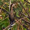 Indian Cormorant imm
