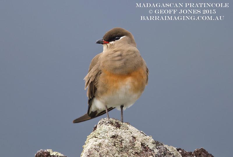 Madagascan Pratincole