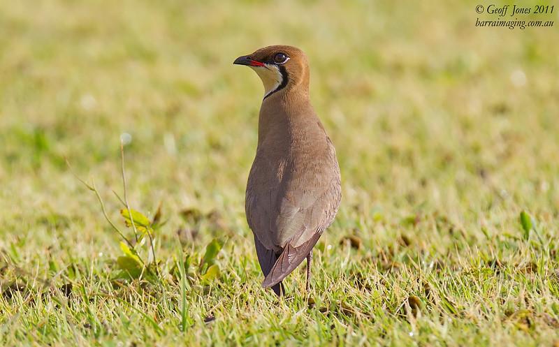 Oriental Pratincole breeding plumage