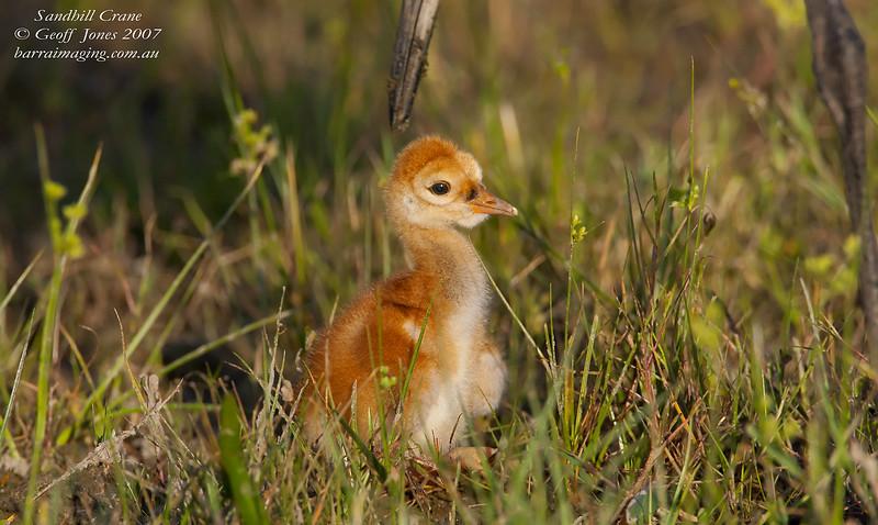 Sandhill Crane juvenile