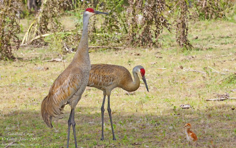 Sandhill Crane adults & juvenile