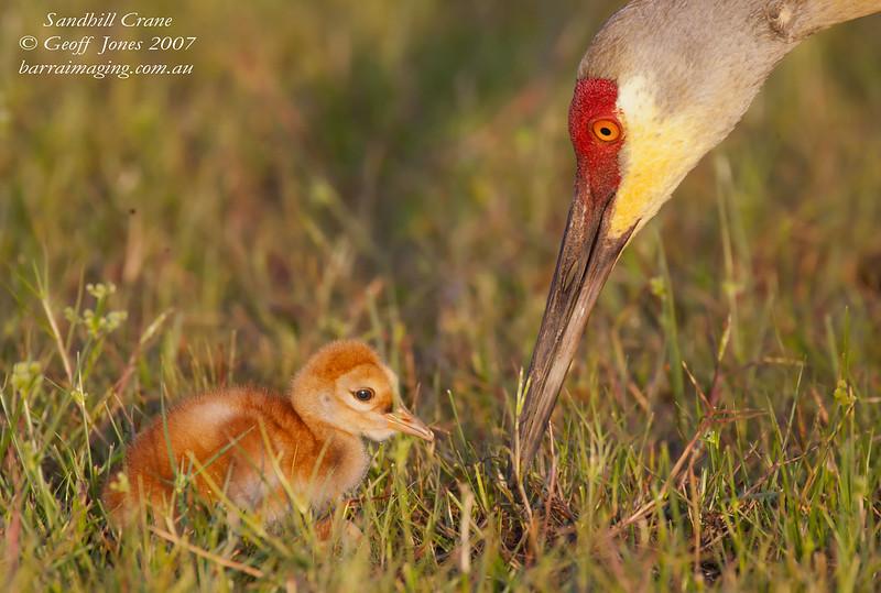 Sandhill Crane adult & juvenile