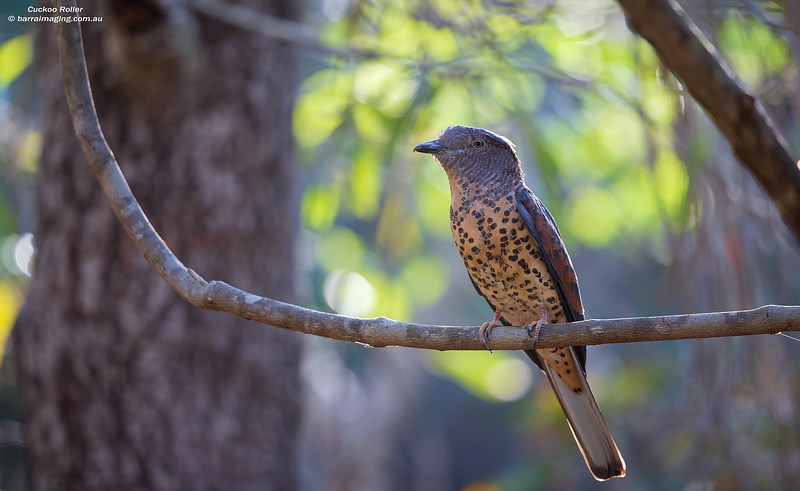 Cuckoo Roller female