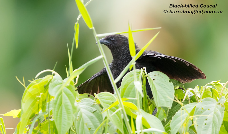 Black-billed Coucal