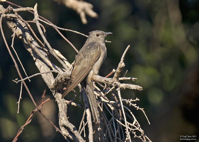 Brush Cuckoo