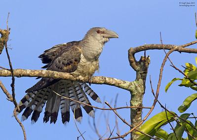 Channel-billed Cuckoo immature