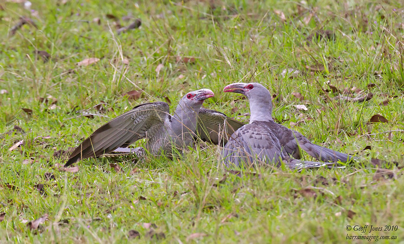 Channel-billed Cuckoo males