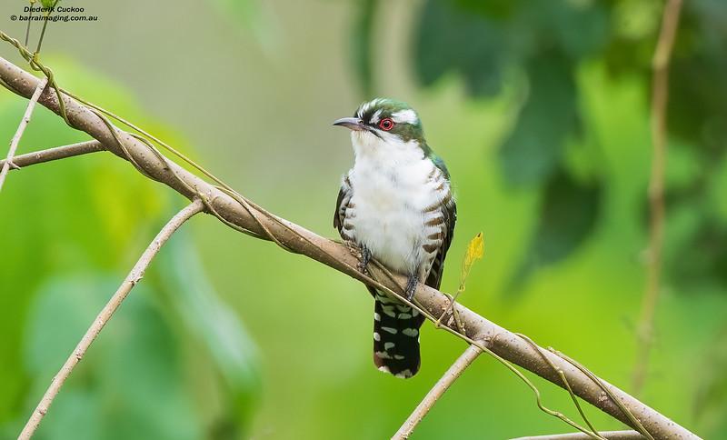 Diederik Cuckoo male