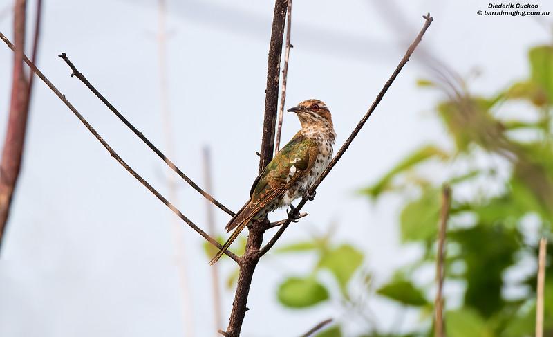 Diederik Cuckoo female