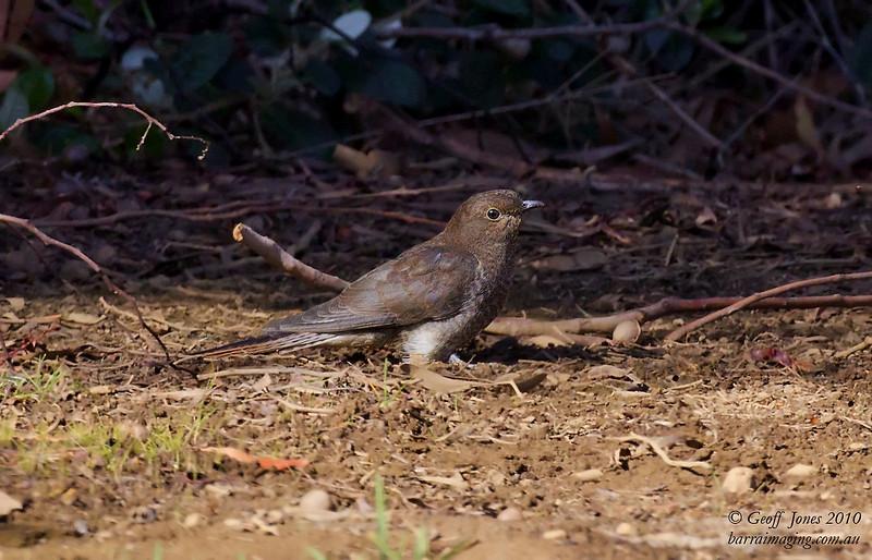 Fantail Cuckoo immature
