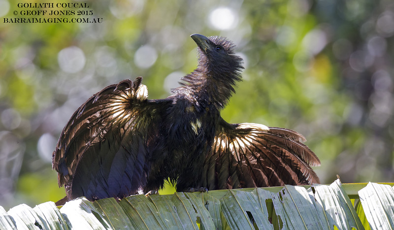 Goliath Coucal