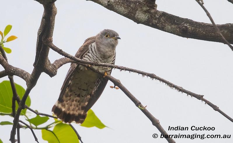 Indian Cuckoo immature