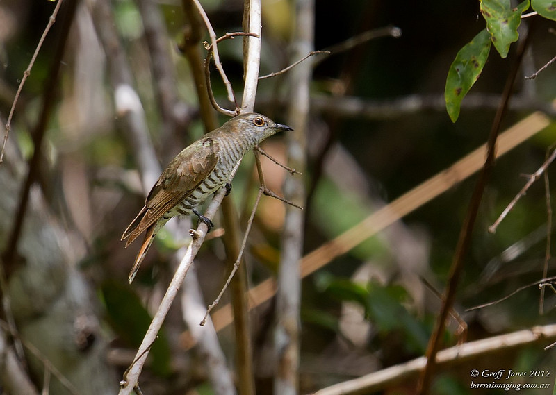Little Bronze Cuckoo female