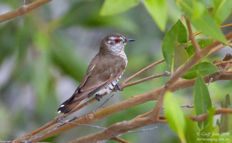 Little Bronze Cuckoo male