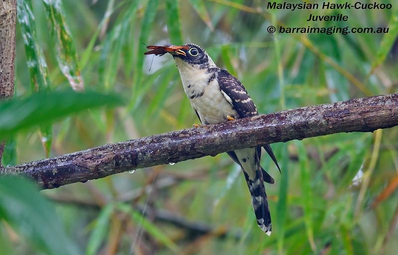 Malaysian Hawk-Cuckoo juvenile