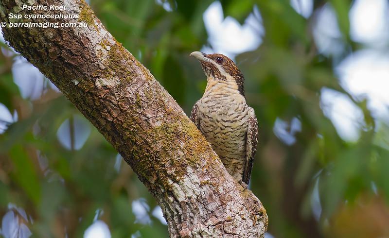 Pacific Koel female
