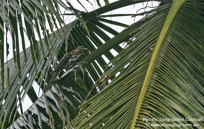 Pacific Long-tailed Cuckoo