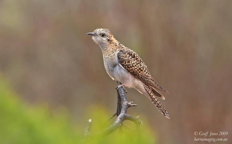 Pallid Cuckoo rufous morph
