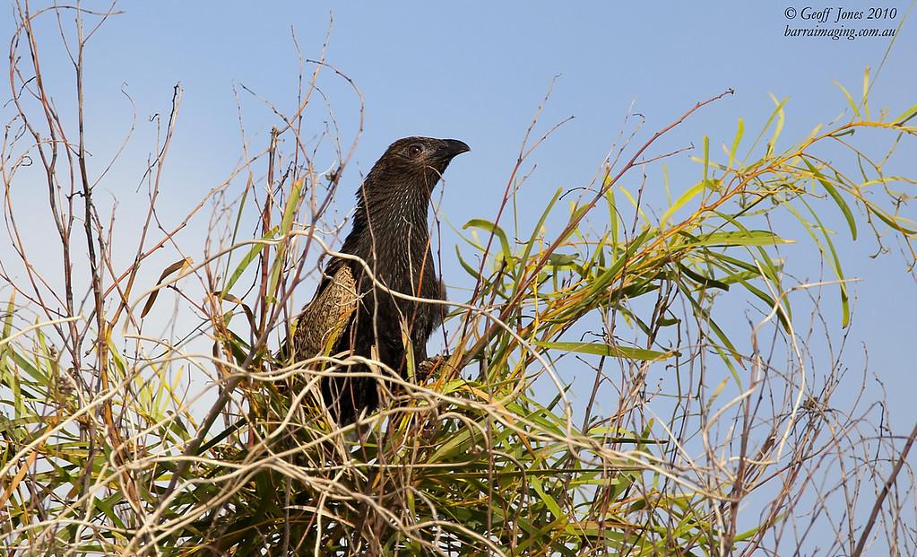 Pheasant Coucal breeding plumage