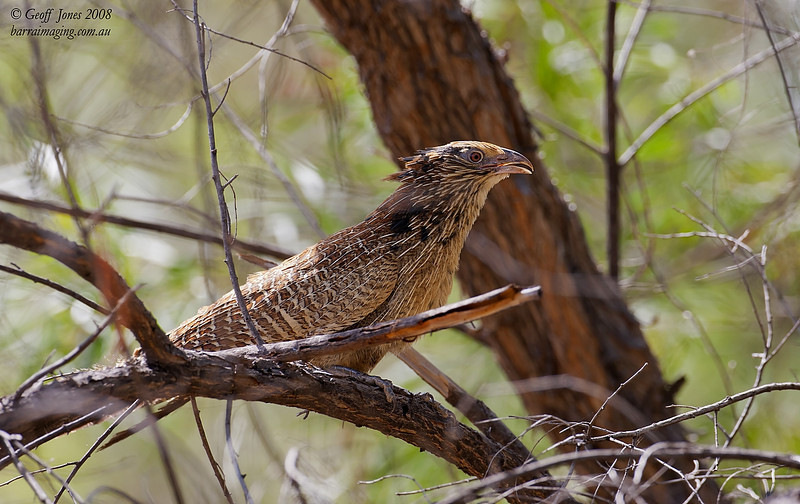 Pheasant Coucal partial breeding plumage
