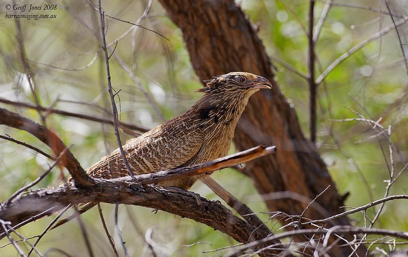 Pheasant Coucal partial breeding plumage