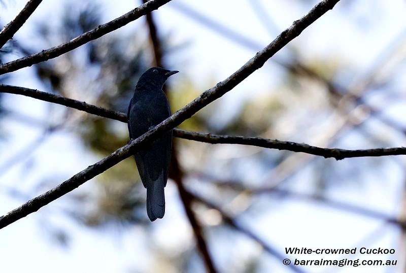 White-crowned Cuckoo