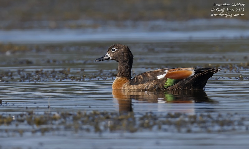 Australian Shelduck female