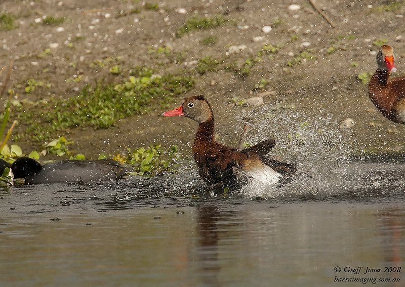Black-bellied Whilstling Duck