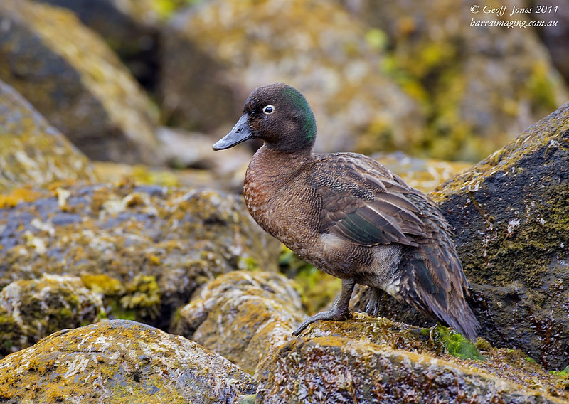 Campbell Teal male