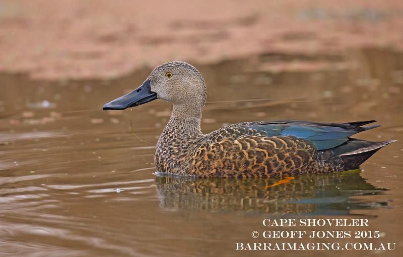Cape Shoveler male