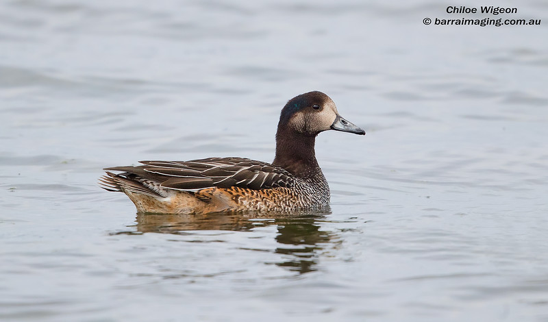 Chiloe Wigeon female