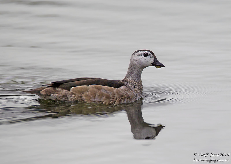 Cotton Pygmy Goose male