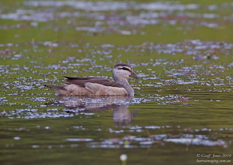 Cotton Pygmy Goose female