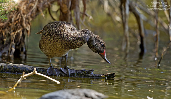 Freckled Duck male