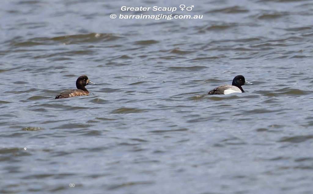 Greater Scaup female & male