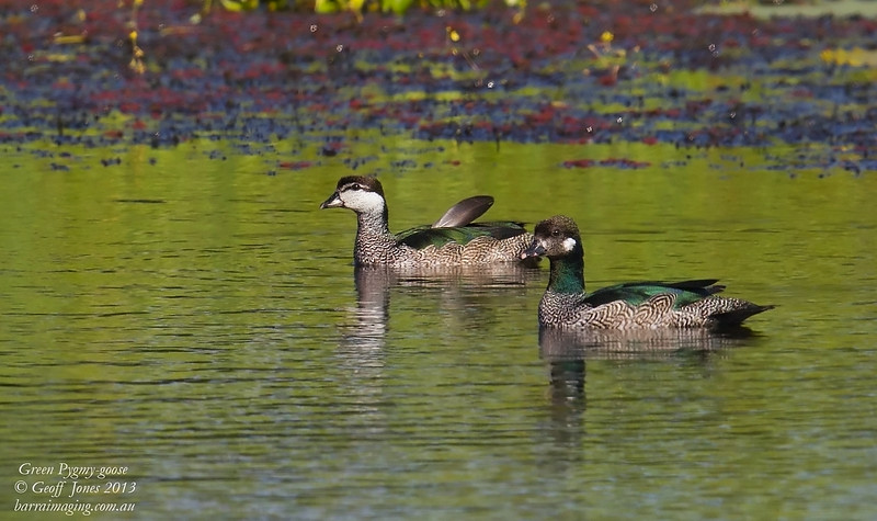Green Pygmy Goose female & male