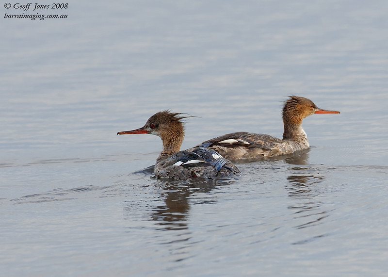 Red-breasted Merganser imm male & female