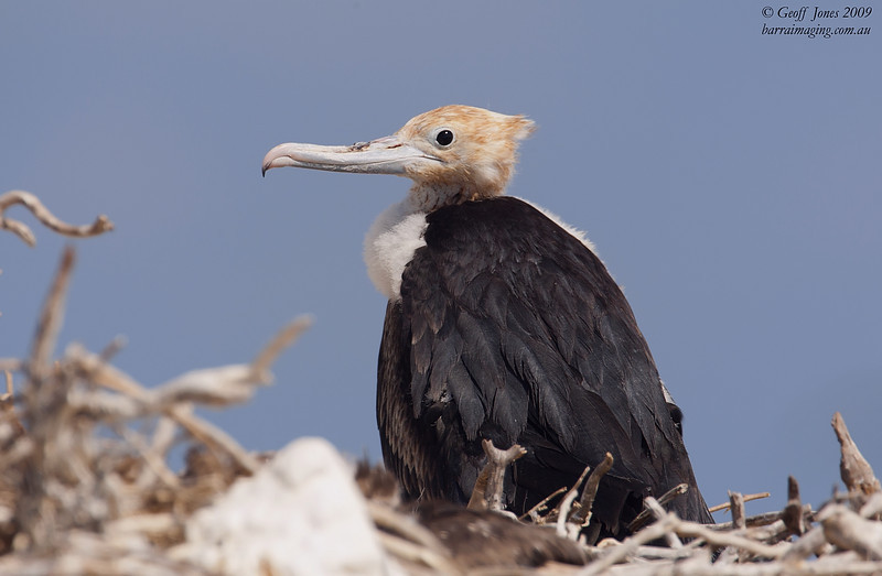 Great Frigatebird juvenile