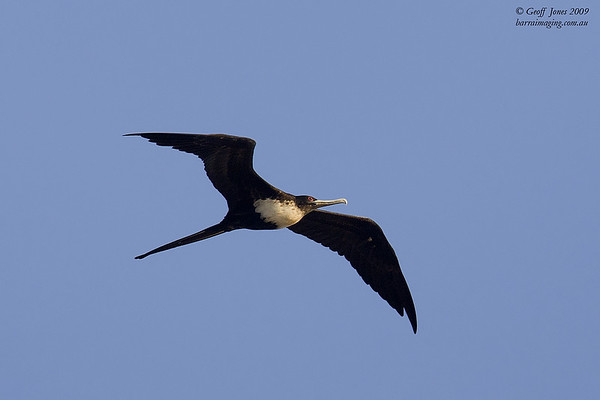Great Frigatebird female