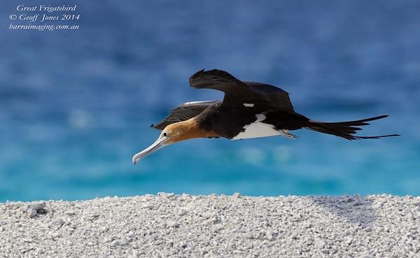 Great Frigatebird immature