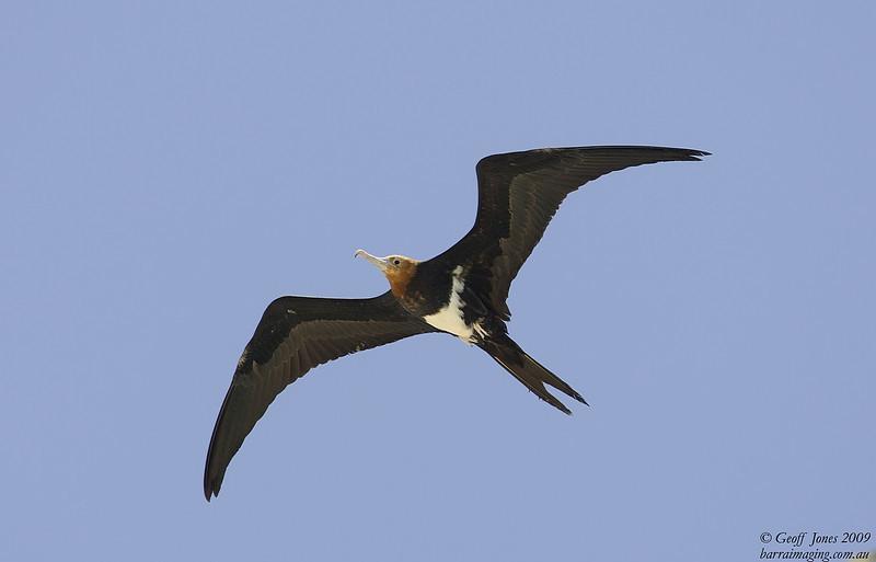 Lesser Frigatebird immature female