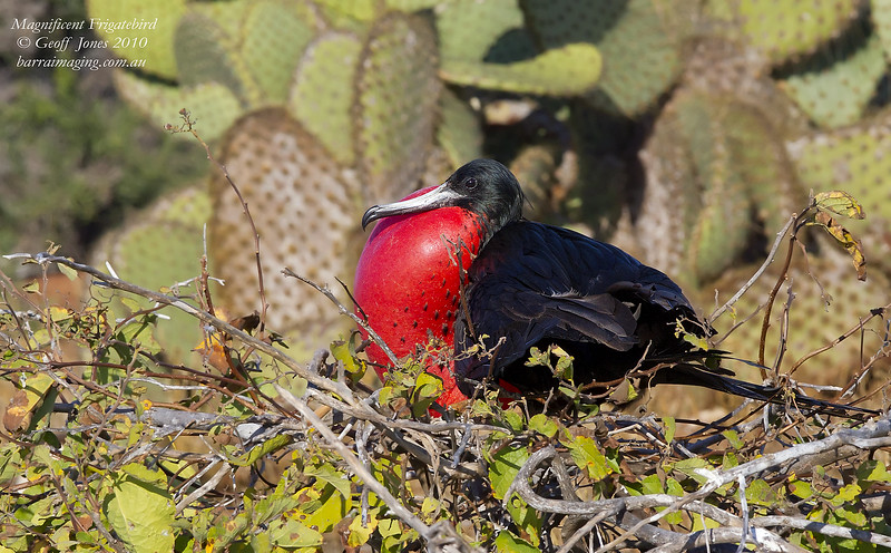 Magnificent Frigatebird male