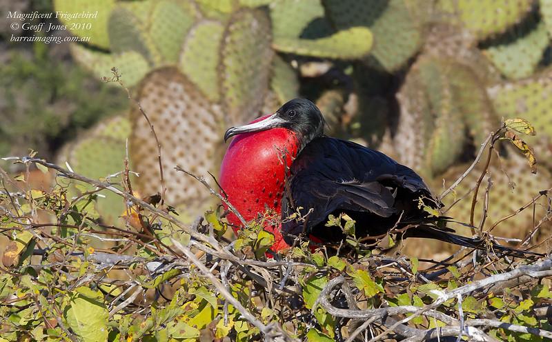 Magnificent Frigatebird male