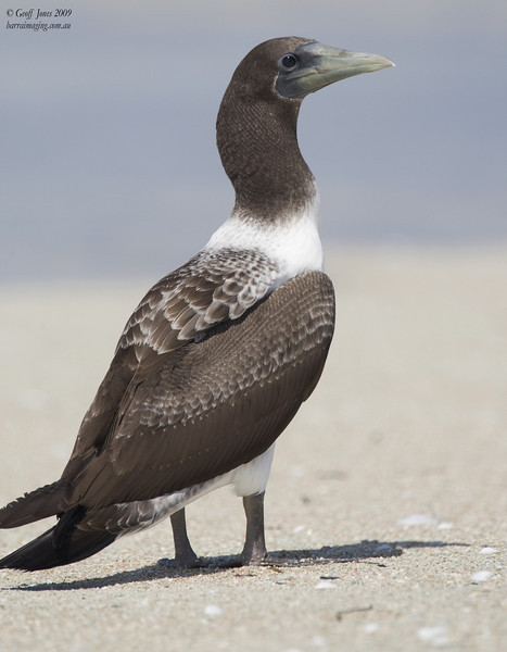 Masked Booby immature